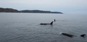 A la rencontre des orques